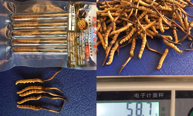 0.5-0.6克一根果洛新鲜虫草图片