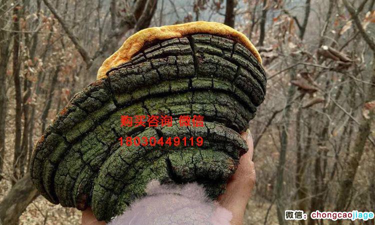 新鲜野生桑树桑黄图片