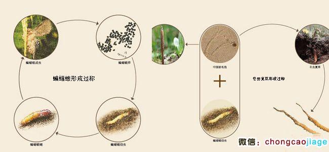 冬虫夏草生长过程图片