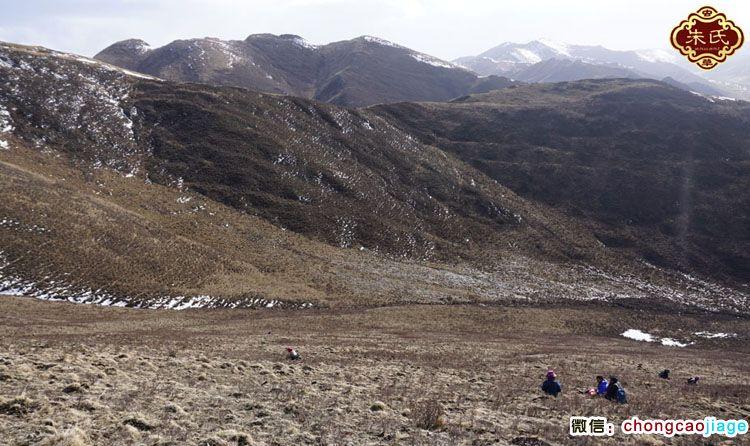 泽库县挖虫草的藏民图片