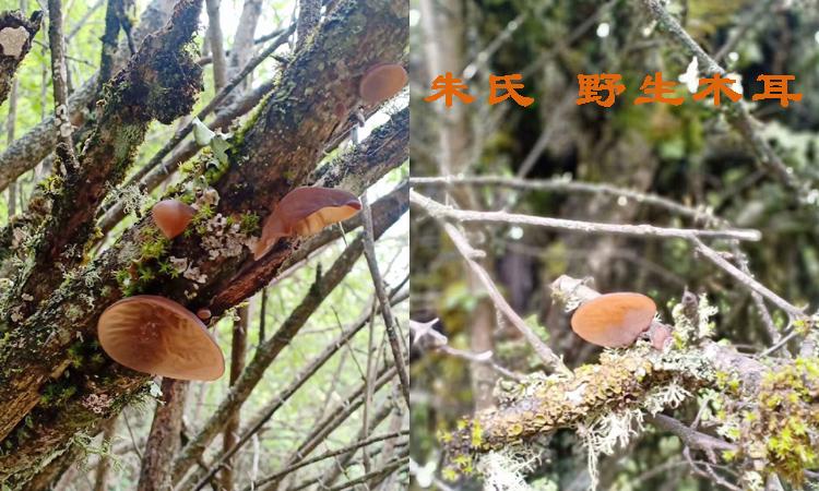 新鲜野生木耳图片