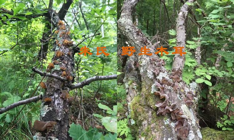 野生树上木耳图片