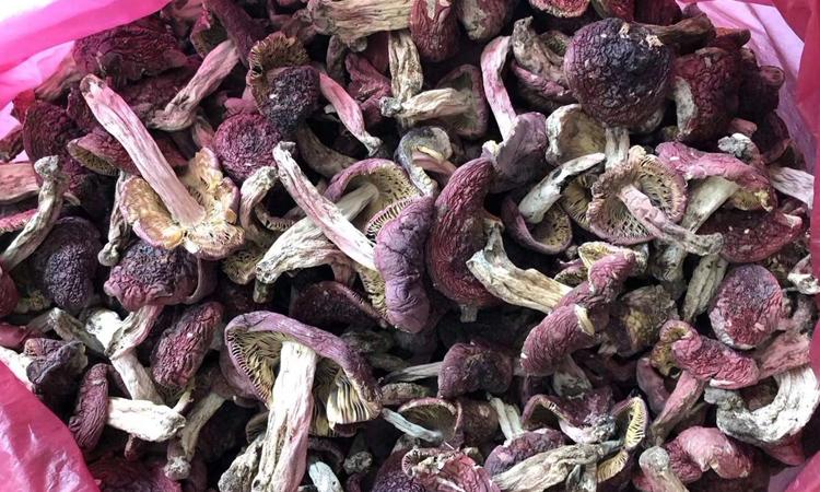 云南野生红菇图片