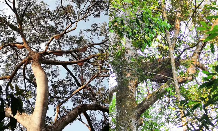 纯天然蜂蜜之树挂蜜