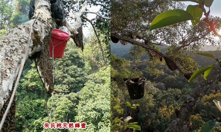 纯天然蜂蜜在树上图片