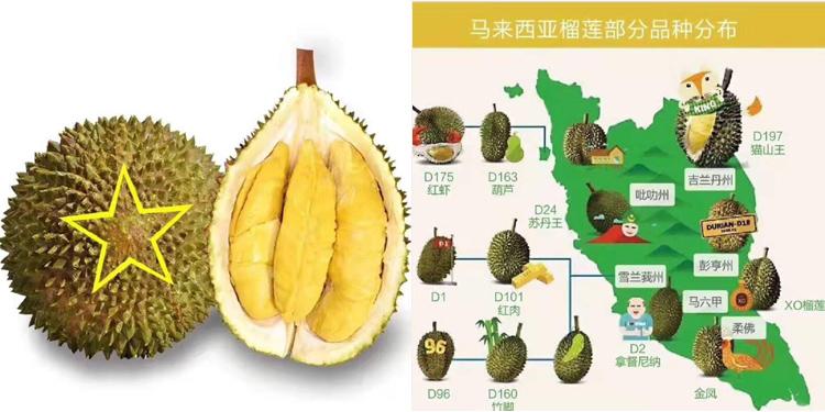 马来西亚榴莲介绍