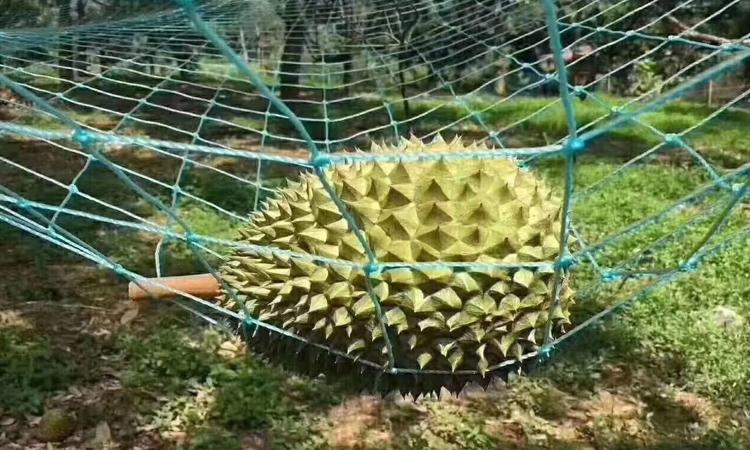 猫山王榴莲自然掉落在人工网上