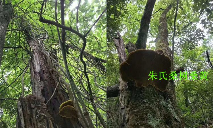 桑树桑黄生长在桑树上的图片