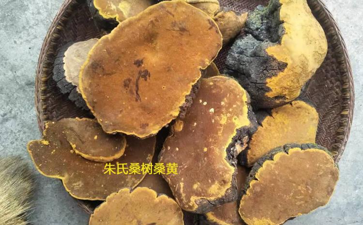 新鲜采摘的桑树桑黄图片