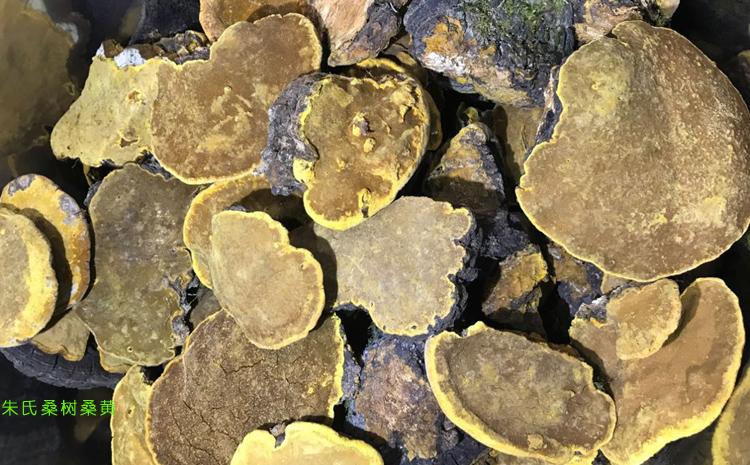野生桑树桑黄图片