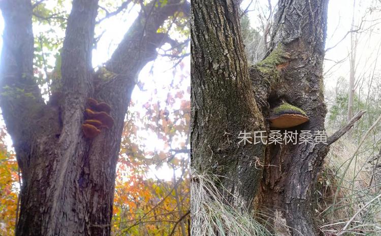 桑树上的桑黄菌图片
