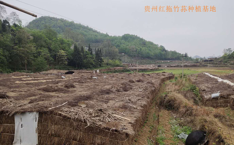 贵州织金红拖竹荪种植基地