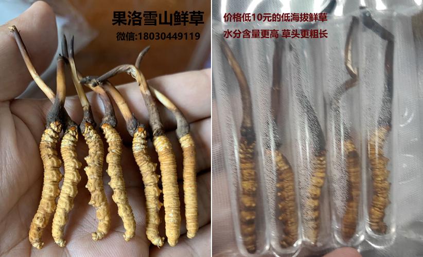 果洛新鲜虫草和低海拔新鲜虫草区别图片