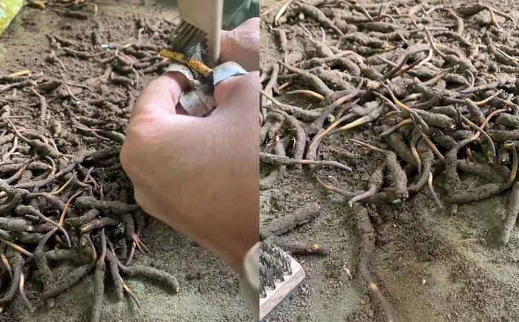 新鲜虫草清理泥土图片
