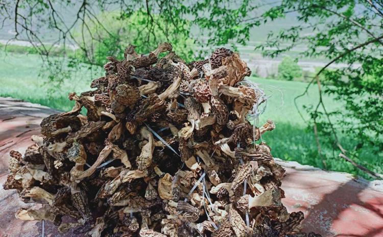 西藏野生羊肚菌干货图片