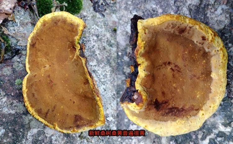 新鲜采摘的桑黄图片