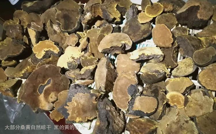自然晾干的桑树桑黄图片