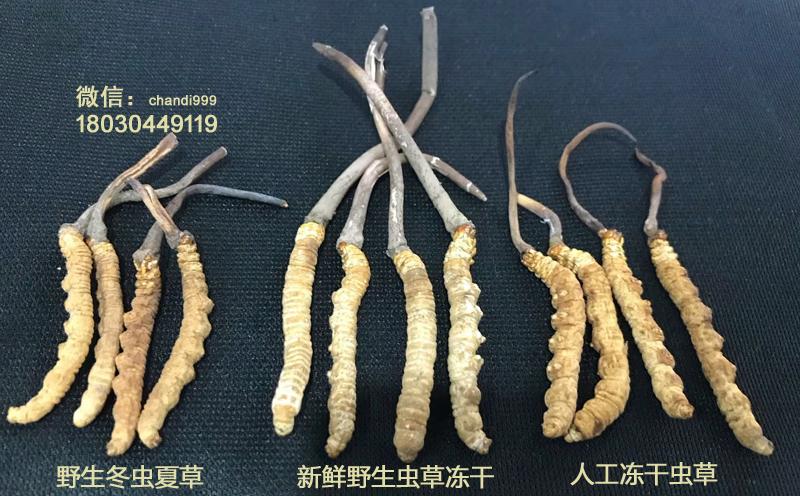 人工虫草和冻干虫草的区别