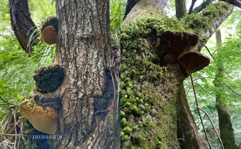 桑黄长在树上的图片