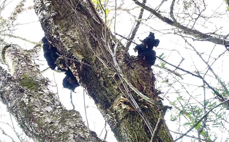 野生桦树茸图片