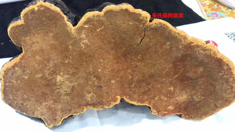 野生桑树桑黄图片2