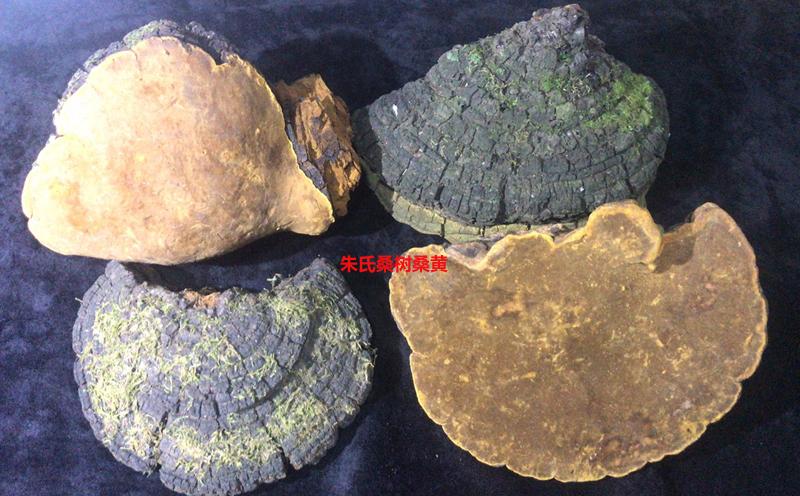 野生桑树桑黄图片4