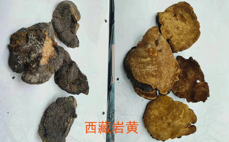 西藏岩桑黄图片