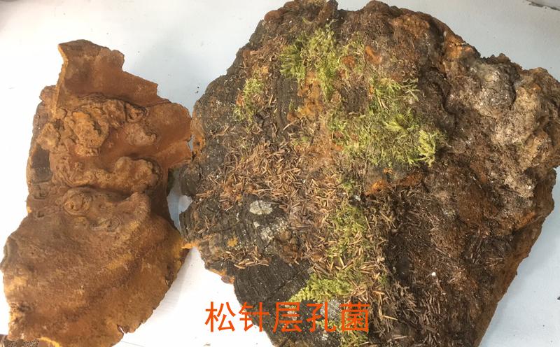 松针层孔菌图片