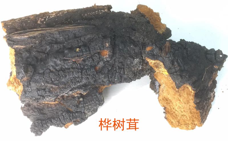 桦树茸图片