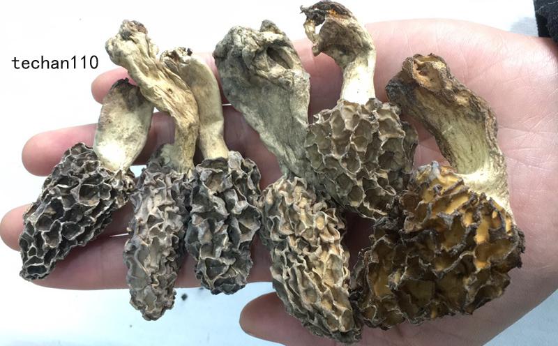 野生羊肚菌图片