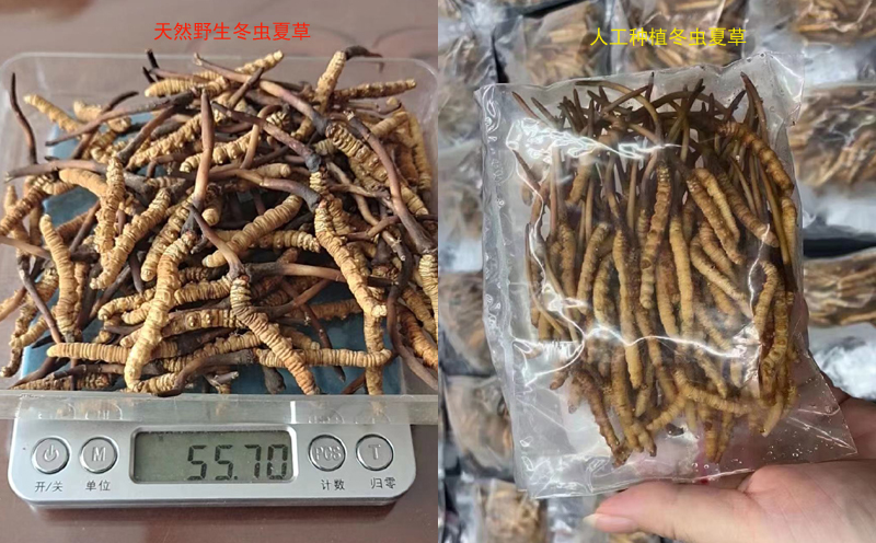 野生新鲜冬虫夏草和人工新鲜虫草对比图