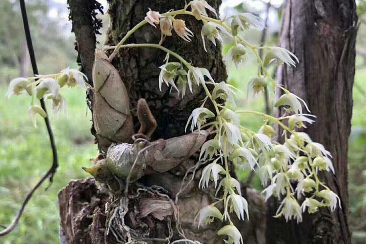 野生虎牙石斛图片
