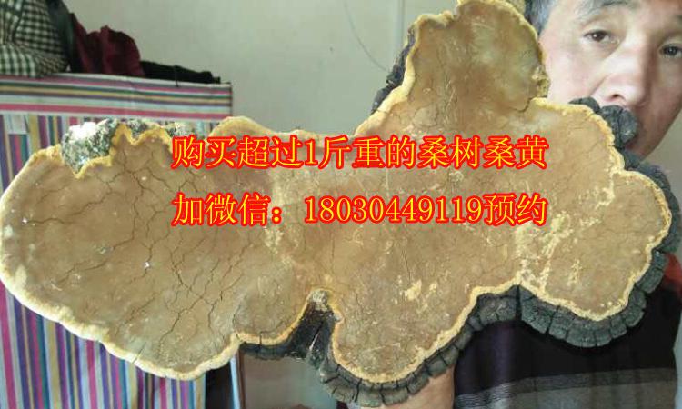 5斤重的野生桑树桑黄图片